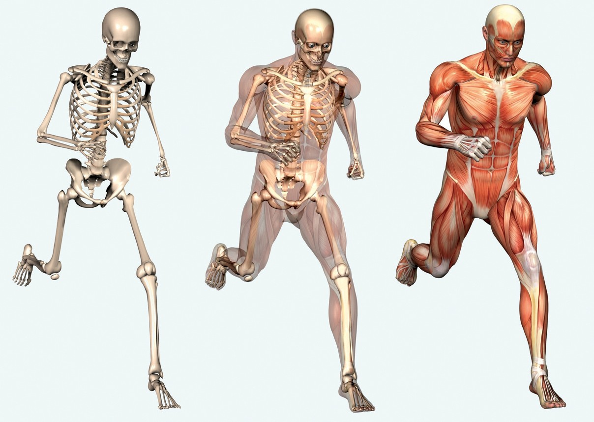 Skeleton picture of human body muscles horseandridertherapy skeleton picture of human body muscles ccuart Images